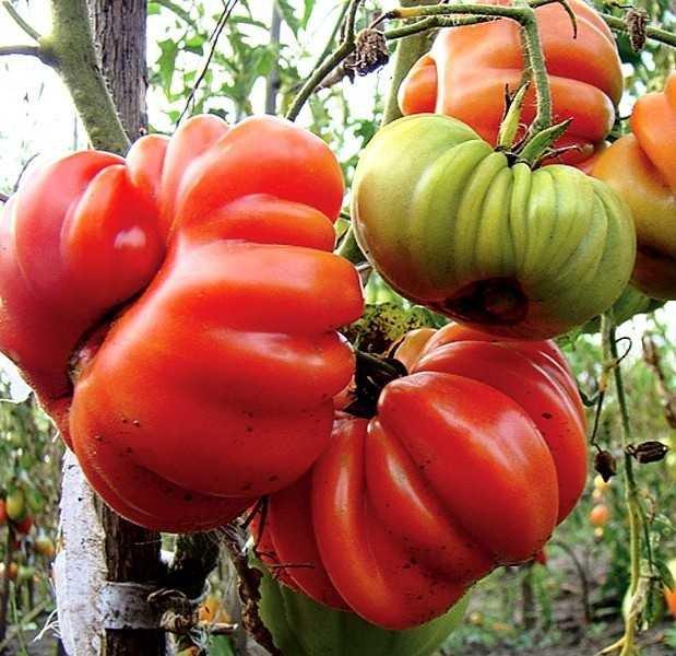 Томат Грибное лукошко: описание и характеристика ребристого крупноплодного сорта