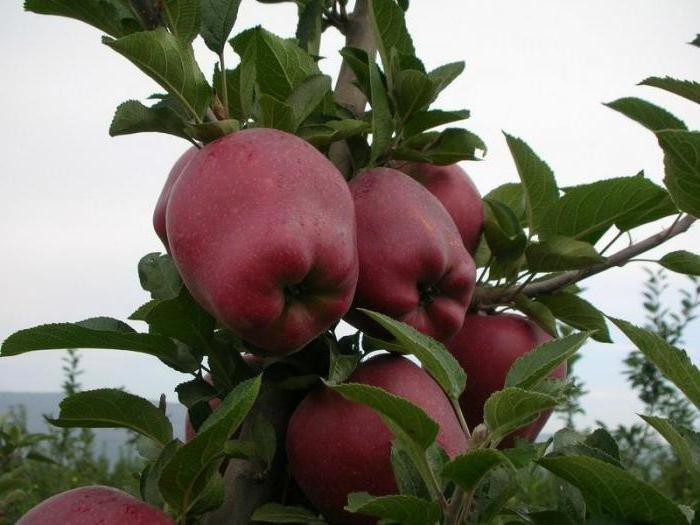 Яблоня Рэд Делишес: описание американского сорта, который уже много десятилетий радует садоводов урожаями и вкусом плодов