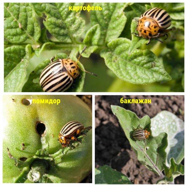 Деготь в садоводстве для защиты от вредителей