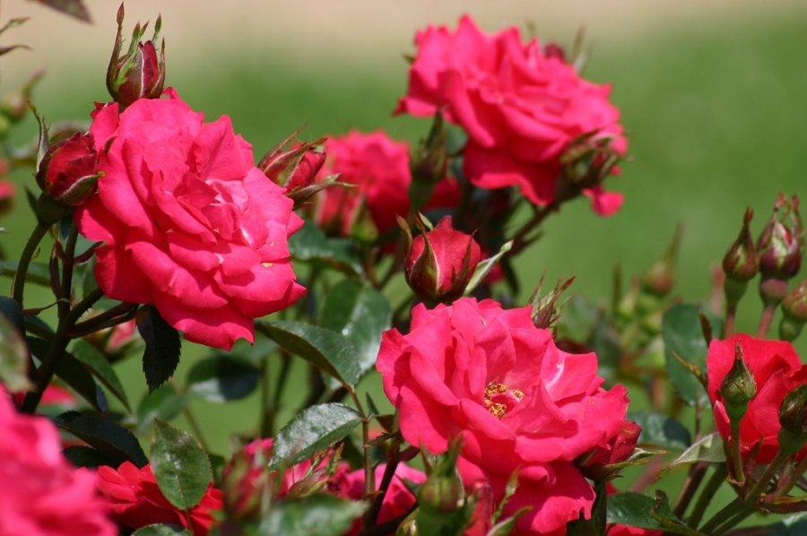 Розы уход осенью подготовка к зиме