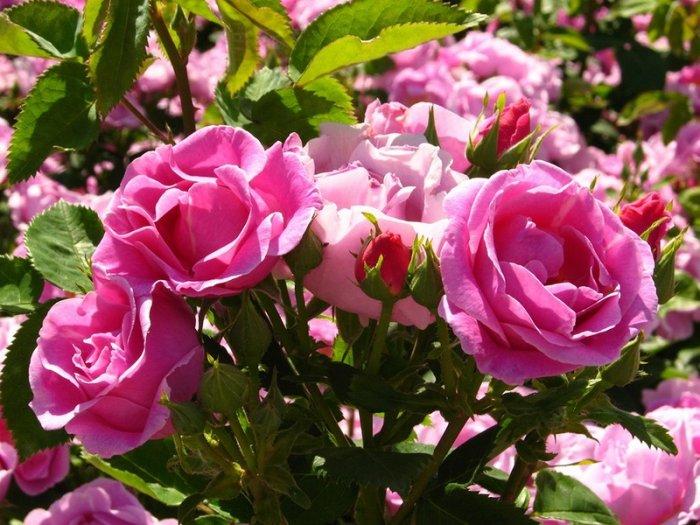 Уход за розами осенью на кубани