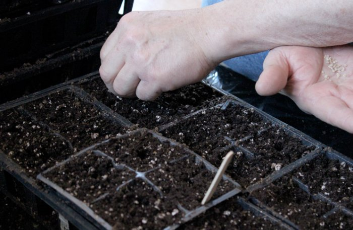 Томат Брисколино описание сорта правила выращивания и ухода с фото
