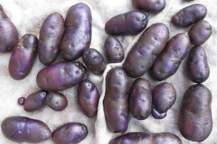 Картофель цыганка описание сорта фото отзывы